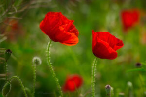 Rojo primaveral