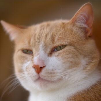 Feline lord